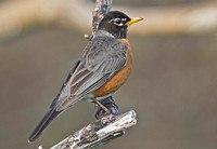 American Robin, 3 May 2015, Mansfield, Tolland Co.