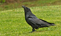 Common Raven, 31 May 2015, Penobscot Co. Me