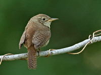 House Wren, 25 June 2015, Mansfield, Tolland Co.
