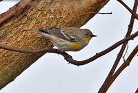"Yellow-rumped ""Audubon's"" Warbler, 23 November 2012, New Haven, New Haven Co."