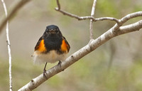American Redstart, 4 May 2014, Chaplin, Windham Co.