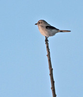 Northern Shrike, 5 January 2013, Hadley, MA