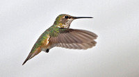 Rufous Hummingbird, 9 January 2013, Groton, New London Co.