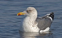 Lesser Black-backed Gull, 8 January 2013, Ninigret Park, RI