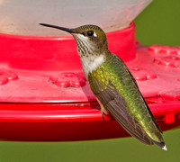 Ruby-throated Hummingbird, 14 August 2012, Mansfield, Tolland Co.