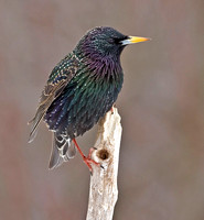 European Starling, March / April  2013, Mansfield, Tolland Co.