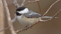 Black-capped Chickadee,  April 2013, Mansfield, Tolland Co.
