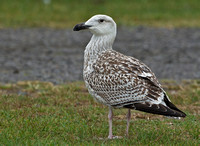 Great Black-backed Gull, 2 October 2015, Madison, New Haven Co.