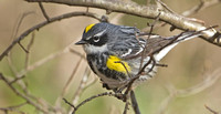"Yellow-rumped ""Myrtle"" Warbler, 25 April 2013, Eastford, Windham Co."