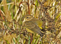 Yellow Palm Warbler, 16 / 18 October 2015, Mansfield, Tolland Co.