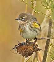 "Yellow-rumped ""Myrtle"" Warbler, 16 / 18 October 2015, Mansfield, Tolland Co."