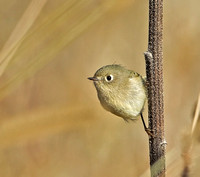 Ruby-crowned Kinglet,  18 October 2015, Mansfield, Tolland Co.