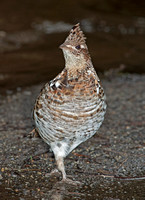 Ruffed Grouse (F), 17 April 2011, Eastford, CT