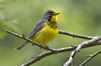 Canada Warbler, 14 May 2013, Eastford, Windham Co.