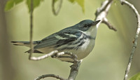 Cerulean Warbler, 14 May 2013, Chaplin, Windham Co.
