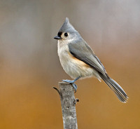 Tufted Titmouse, 1 November 2015, Mansfield, Tolland Co.