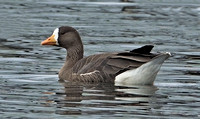 Greater White-fronted Goose, 26 November 2015, Windsor, Hartford Co.