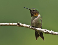 Ruby-throated Hummingbird, 29 July 2013, Mansfield, Tolland Co.