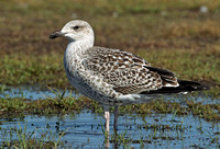 Great Black-backed Gull, 14 August 2014, Madison, New Haven Co.