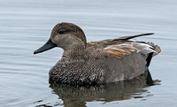 Gadwall, 1 April 2016, Stratford, Fairfield Co.