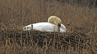 Mute Swan Nest, 1 April 2016, Stratford, Fairfield Co.