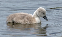 Mute Swan Cygnets, 19 May 2016, Madison, New Haven Co.