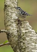 Black and White Warbler, 13 May 2016, Union, Tolland Co.