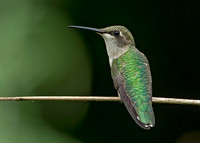 Ruby-throated Hummingbird, 13 July 2017, Mansfield, Tolland Co.17,