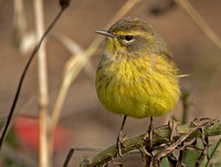 Yellow Palm Warbler, 28 October 2016, Mansfield, Tolland Co.