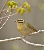 Worm-eating Warbler, 4 May 2014, Chaplin, Windham Co.