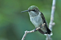Ruby-throated Hummingbird, 29-30 August 2014, Mansfield, Tolland Co.