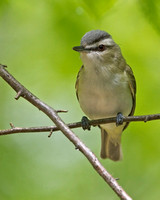 Red-eyed Vireo, 21 May 2014, Hampton, Windham Co.
