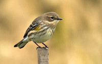 Yellow-rumped (Myrtle) Warbler, October 2013, Mansfield, Tolland Co.