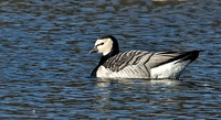 Barnacle Goose, 15 November 2014, East Windsor, Hartford Co.