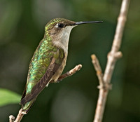 Ruby-throated Hummingbird, 7 September 2014, Mansfield, Tolland Co.