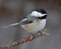 Black-capped Chickadee, 2 March 2012, Ashford, Windham Co