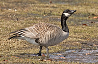 Cackling Goose (?), 15 March 2014, Westport, Fairfield Co.