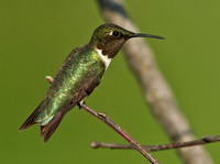 Ruby-throated Hummingbird, 31 July 2014, Mansfield, Tolland Co.