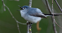 Blue-gray Gnatcatcher, 2,4 May 2014, Mansfield, Tolland Co.