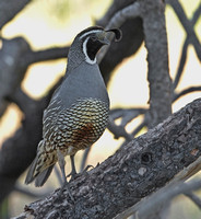 California Quail, 21 May 2012, Cuyamaca State Forest, CA