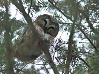 Northern Saw-whet Owl (record shots), 18 January 2014, Chaplin, Windham Co.