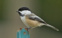 Black-capped Chickadee, 18 October 2014, Mansfield, Tolland Co.