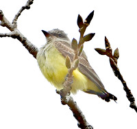 Western Kingbird, 1 November 2009, Madison, CT ( A bird molting in its tail)