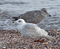 Iceland Gull, 25 December 2013, Stratford, Fairfield Co.