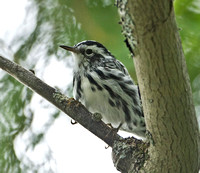 Black-and-White Warbler, 18 August 2012, Lincoln, Maine