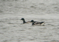 Black Brant, Stratford, Fairfield Co., CT, a first state record for this subspecies