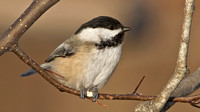 Black-capped Chickadee, 13 December 2013, Mansfield, Tolland Co.