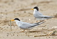 Least Terns, 11 June 2010, Sandy Point, West Haven, New Haven Co.
