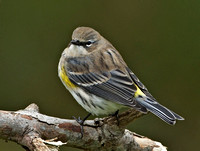 "Yellow-rumped ""Myrtle"" Warbler, 24 October 2014, Mansfield, Tolland Co."