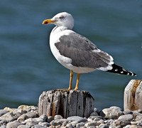 Lesser Black-backed Gull, 15 March 2015, Westport, Fairfield Co.